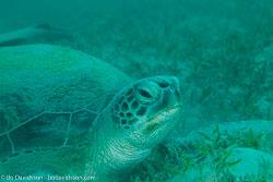 BD-120425-Marsa-Alam-6527-Eretmochelys-imbricata-(Linnaeus.-1766)-[Hawksbill-turtle.-Karettsköldpadda].jpg
